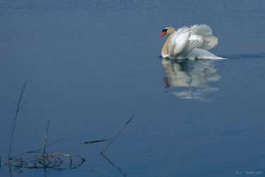 Reeds and Swan