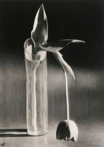 Kertesz Melancholic Tulip