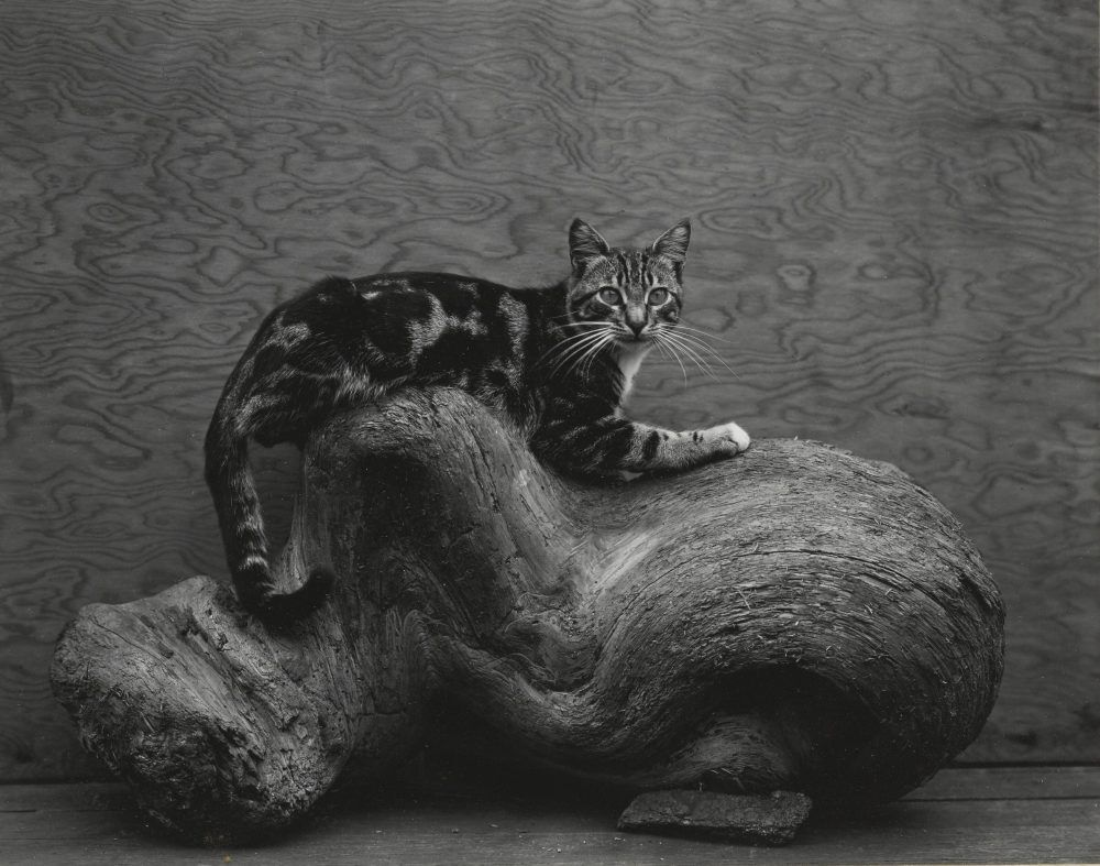 Dogs and Cats, Edward Weston - Johnny
