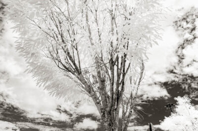 A tree against the clouds in infrared