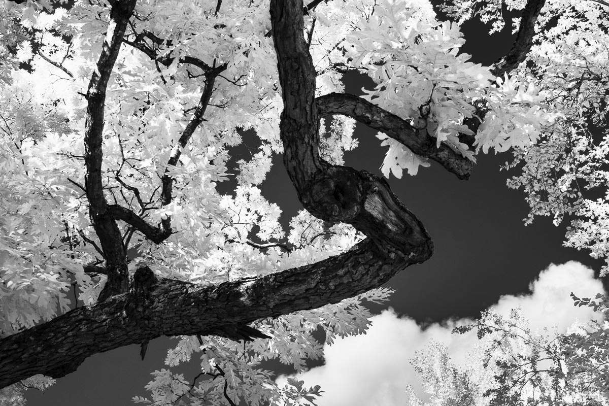 Tree aglow under infrared