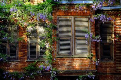 Wisteria on Old House, Istanbul 1996