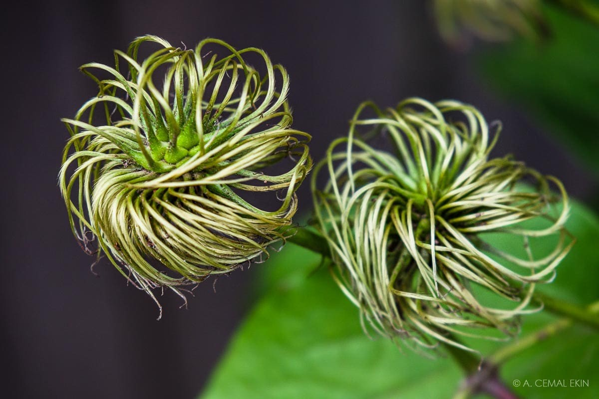 Clematis spent flowers