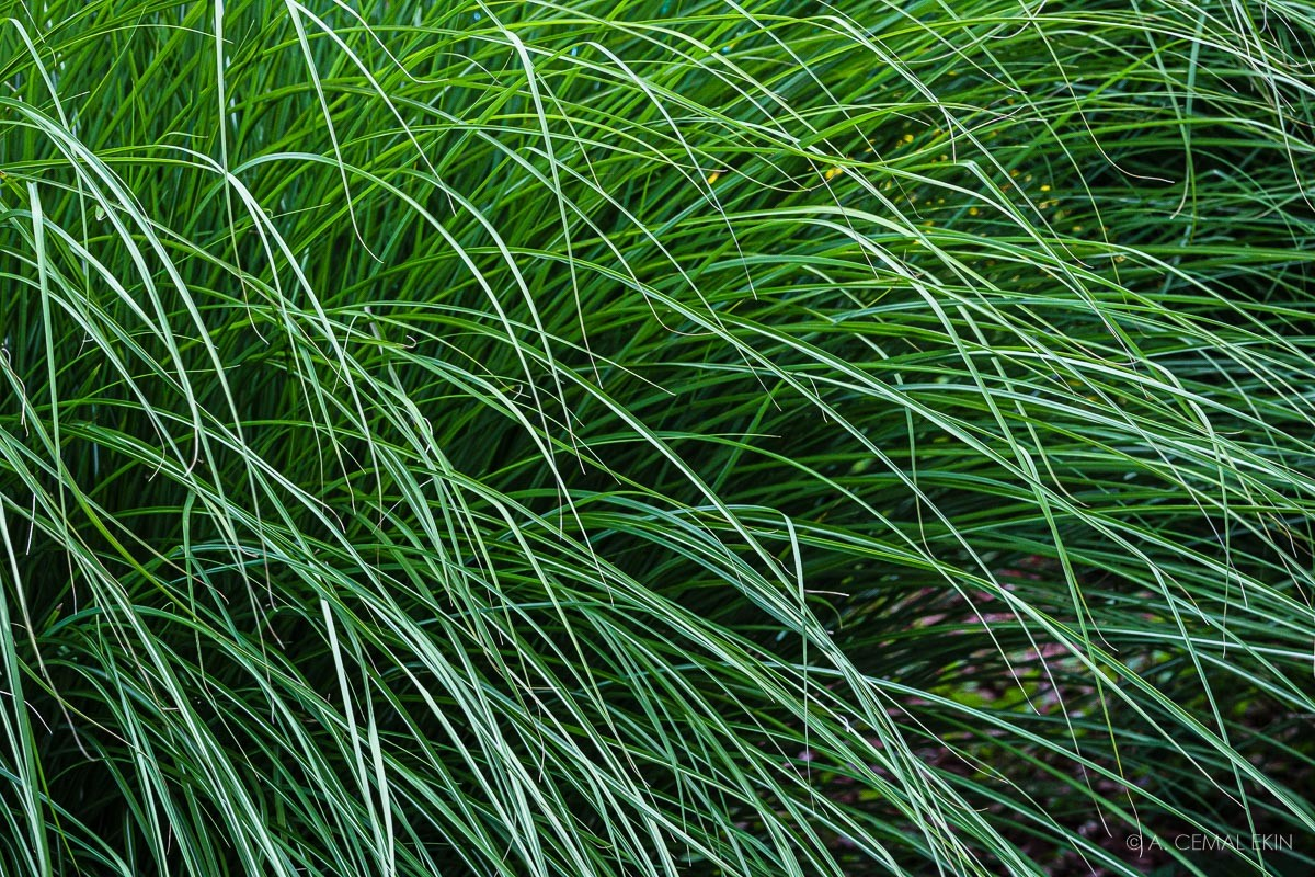Carex rosea (Curly-styled Wood Sedge)