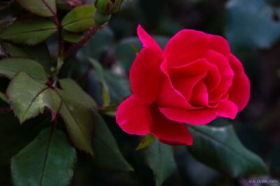 Neighbor's Rose