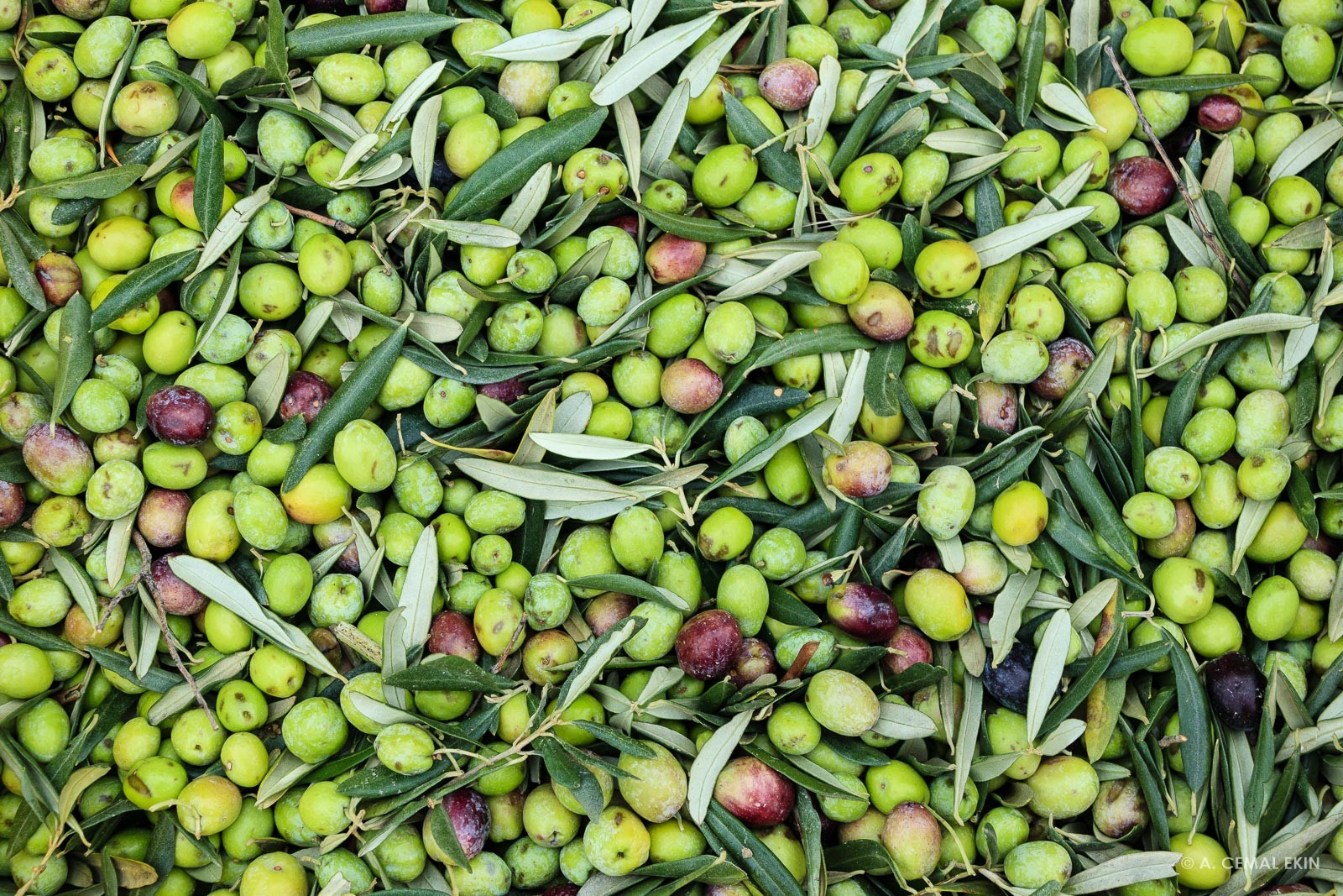Harvested Olive at Melin Olive Grove