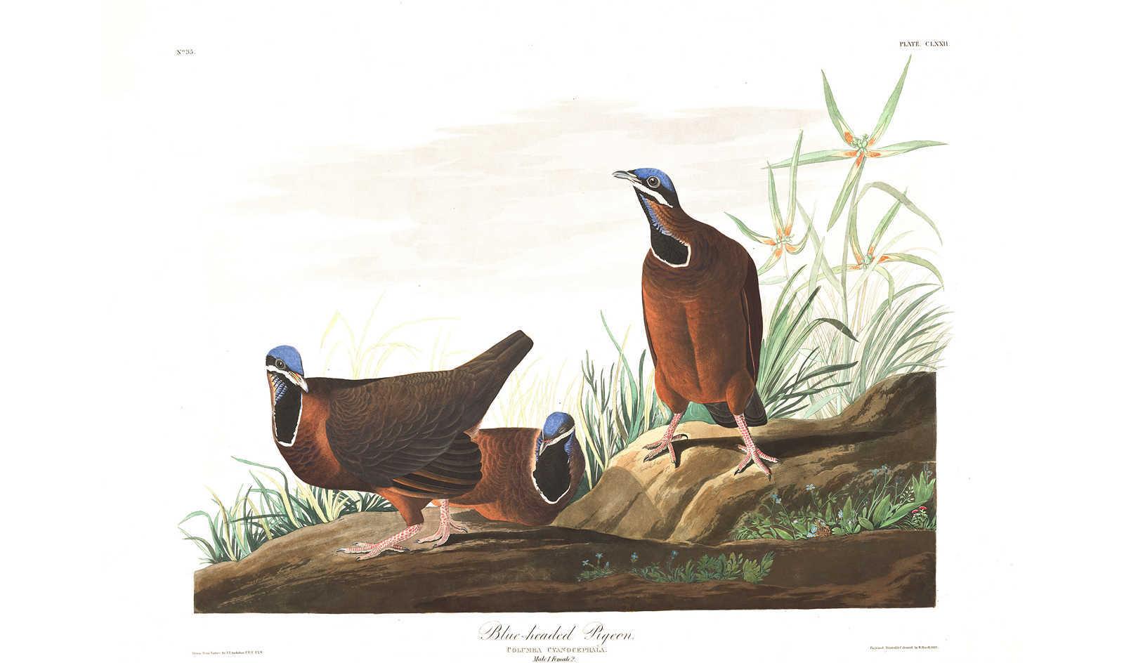 John J. Audubon -- Blue Headed Pigeon