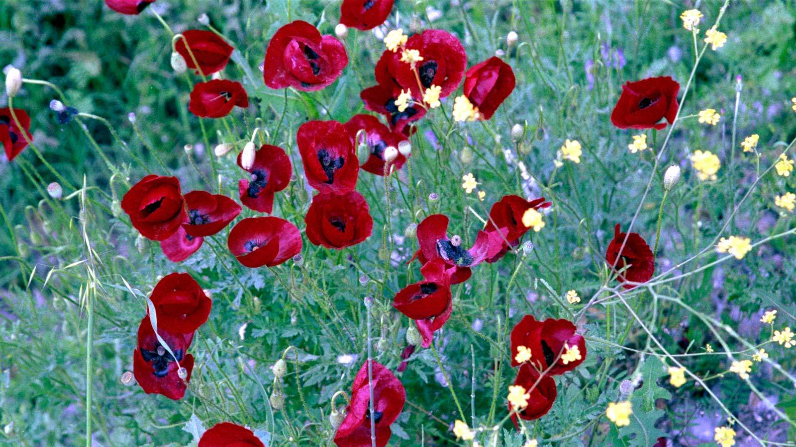 Poppies in the field - Color cast removed