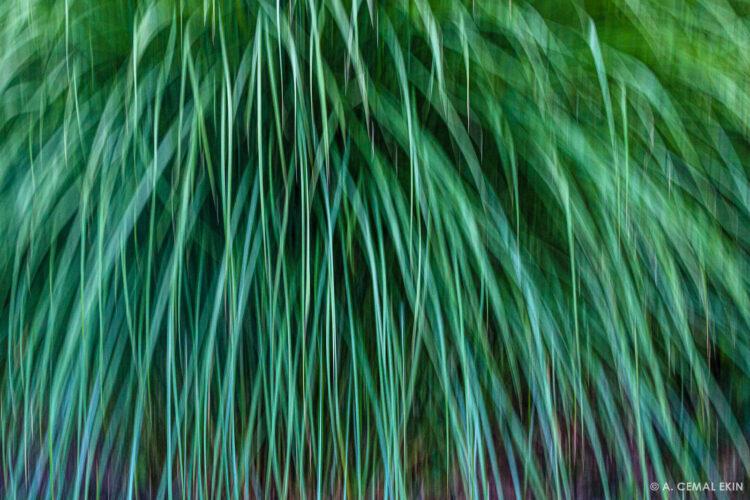 Cortaderia selloana (Pampass grass)