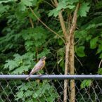 A robin on the fence