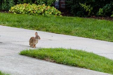 One of the many rabbits in the neighborhood