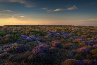 Thyme fields in the sunset