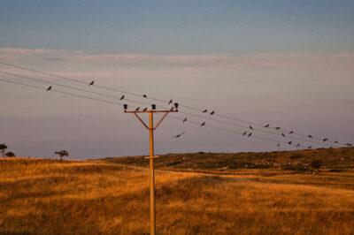 Crows Corvus are plenty on the island